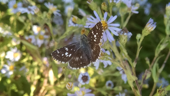 Checkered skipper butterfly on Crooked-stem aster